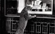 pantera giaguaro cartier - non si dice paicere - galateo gioielli - vetrina - vintage - non si dice piacere