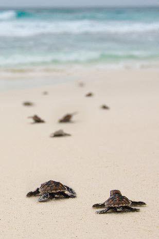 tartarughe - padre- figlio - mare vilebrequin